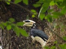albirostris anthracoceros вися на дереве в лесе Стоковое фото RF