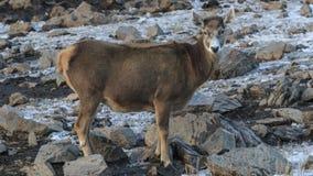 Albirostris de Przewalskium de cerfs communs ou Thorold Deer Blanc-labiés dans un secteur tibétain montagneux, Chine photographie stock