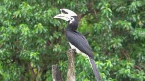 Albirostris de varios colores orientales de Anthracoceros del Hornbill que se sientan en árbol Pájaro endémico en peligro de Born almacen de video