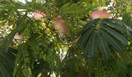 Albizia. Albitius julibrissin flowers and leaves on the bush Royalty Free Stock Photography