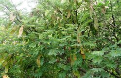 Free Albizia Amara Krishna Sirish Fruiting Tree Royalty Free Stock Photos - 190693248