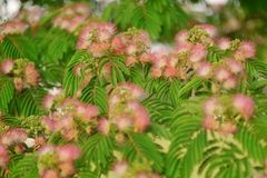 Albizia Stock Photos