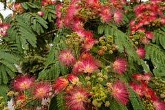 Albizia del árbol en flor Fotos de archivo libres de regalías