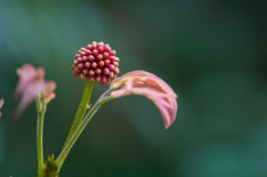Albizia flower in early puberty Stock Photos