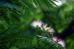 Albizia julibrissin Royalty Free Stock Photo