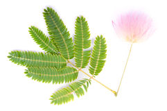 Albizia julibrissin Royalty Free Stock Image