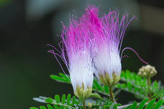 Calliandra surinamensis. Beautiful pink powderpuff tree flowers, Calliandra surinamensis, mimosaide family. Blossoms and green leaves on a branch. Exotic Royalty Free Stock Photos
