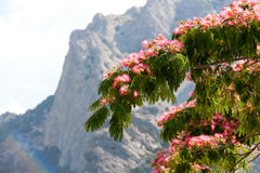 Albizia julibrissin on the background of mountains and sky Stock Photo