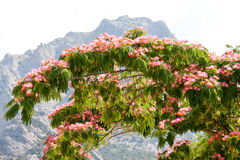Albizia julibrissin on the background of mountains and sky Stock Photos