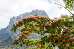 Albizia julibrissin on the background of mountains and sky Royalty Free Stock Photography