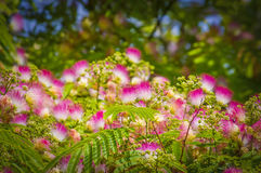 Albizia julibrissin Royalty Free Stock Photography