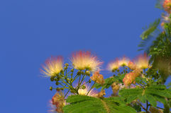 Albizia julibrissin Stock Photography