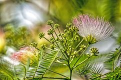 Albizia julibrissin close-up royalty free stock images