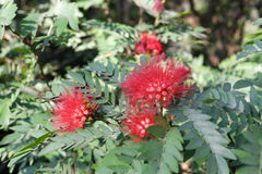 Albizia julibrissin flower Stock Images