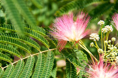 Albizia julibrissin flowers close-up as a background Royalty Free Stock Image