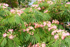 Albizia julibrissin flowers close-up as a background Royalty Free Stock Images