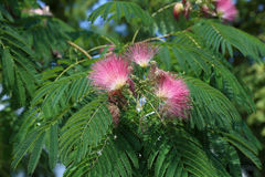 Albizia julibrissin Royalty Free Stock Photos