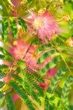 Albizia julibrissin - jedwabniczy drzewo Obraz Stock
