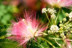 Albizia julibrissin kwitnie zakończenie jako tło Obraz Stock