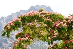 Albizia julibrissin na tle góry i niebo zdjęcia stock
