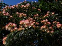 Acacia di Costantinopoli, Persian silk tree, albizia julibrissin. Albizia julibrissin Persian silk tree or Lenkoran acacia. Pink flowers tree royalty free stock photos