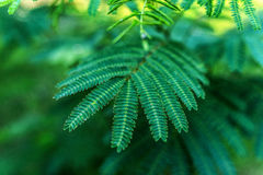 Albizia julibrissin (Persian silk tree) Stock Images