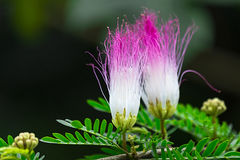 Calliandra surinamensis. Beautiful pink powderpuff tree flowers, Calliandra surinamensis, mimosaide family. Blossoms and green leaves on a branch. Exotic Stock Image