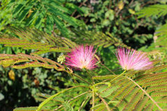 Albizia julibrissin. Pink flowers grow on trees Royalty Free Stock Image