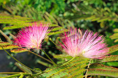 Albizia julibrissin Stock Photos