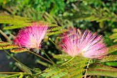 Albizia julibrissin. Pink flowers grow on trees Stock Photos