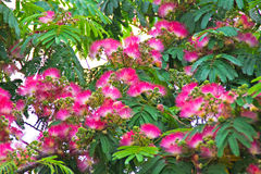 Albizia julibrissin - pink powder puff flowers Stock Image