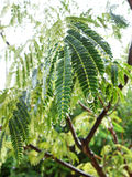 Albizia julibrissin after rain Royalty Free Stock Images