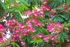 Albizia julibrissin - rosa Puderquasteblumen stockbild