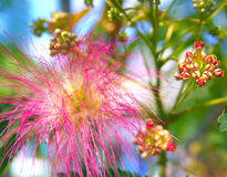 Albizia julibrissin - silk tree. Persian silk tree (Albizia julibrissin) foliage and flowers Stock Photo