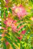 Albizia julibrissin - silk tree. Persian silk tree (Albizia julibrissin) foliage and flowers Stock Image