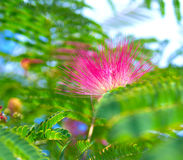 Albizia julibrissin - silk tree. Persian silk tree (Albizia julibrissin) foliage and flowers Royalty Free Stock Photo