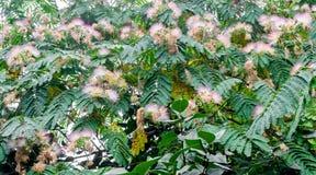 Albizia julibrissin tree flower, Persian silk tree, pink silk tree Stock Photography