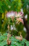 Albizia julibrissin tree flower, Persian silk tree, pink silk tree Royalty Free Stock Photography
