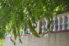 Albizia Lankaran - feuilles et cosses d'acacia, espèces des arbres du genre Albizia de la famille de légumineuse photographie stock libre de droits