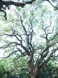 Albizia lebbeck Stockbild