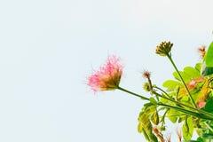 Albizia lebbeck flower Stock Image
