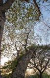 Albizia lebbeckSiris tree,Woman`s tongue,Mimosa lebbeck tree and evening sky. Albizia lebbeckSiris tree,Woman`s tongue,Mimosa lebbeck is medium to large tree stock photo