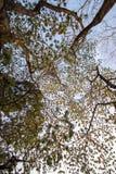 Albizia lebbeckSiris tree,Woman`s tongue,Mimosa lebbeck tree and evening sky. Albizia lebbeckSiris tree,Woman`s tongue,Mimosa lebbeck is medium to large tree stock images