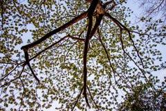 Albizia lebbeckSiris tree,Woman`s tongue,Mimosa lebbeck tree and evening sky. Albizia lebbeckSiris tree,Woman`s tongue,Mimosa lebbeck is medium to large tree royalty free stock photo