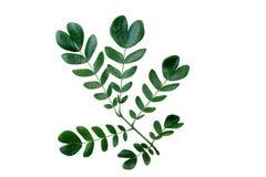 (Albizia saman (Jacq.) Merr.), leaf form and texture Stock Photo