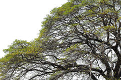 Albizia saman tree Stock Image