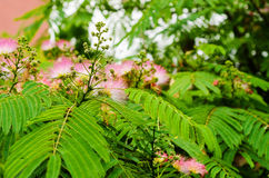 Albizia tree- detail Stock Photos