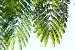 φύλλα albizzia Στοκ Φωτογραφία