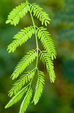 Albizzia julibrissn Stock Photography