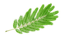 Albizzia leaf Stock Photography